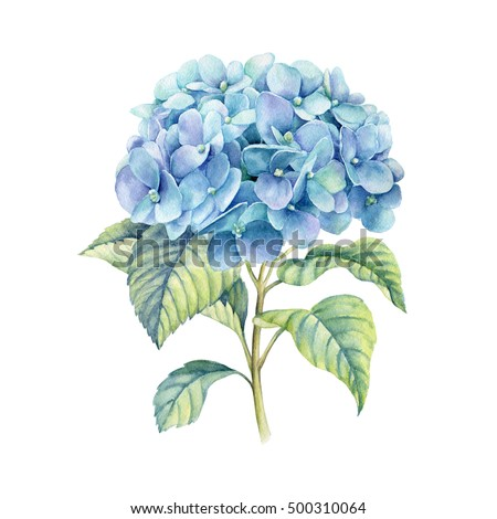 Hydrangea watercolor illustration blue summer flower for Colore ortensia