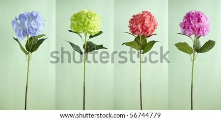 Hydrangeas Flower,shot studio - stock photo