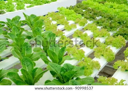 Hydro-phonic vegetable - stock photo