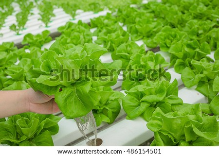 Hydro Pro Necks vegetables for salad and a simple menu more. For healthy people as well. Because of that, I would like to plant vegetables.