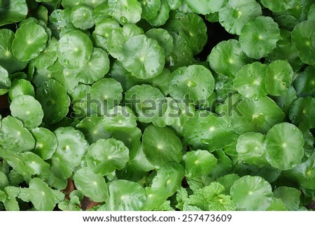hydrocotyle background,Water Pennywort , Centella asiatica. - stock photo