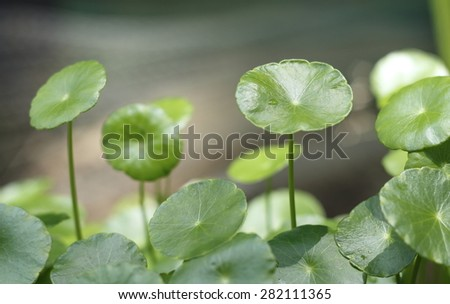 hydrocotyle background (Water Pennywort , Centella asiatica). green background of hydrocotyle leaf - stock photo