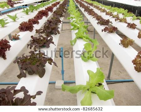 Hydrophonic Plantation - stock photo