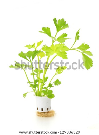 Hydroponic celery vegetable on white background stock photo