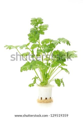 Hydroponic  coriander  vegetable on white background - stock photo