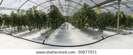 Hydroponic cultivation of tomatoes in greenhouse - stock photo