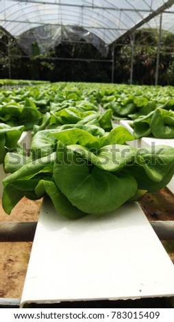 Hydroponic cultivation of vegetables , lettuce plant in Cameron Highland.