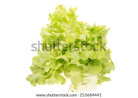 Hydroponic Green cabbage lettuce isolated on White Isolated background