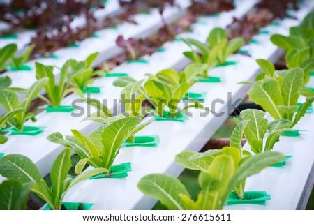 hydroponic vegetable farm - stock photo