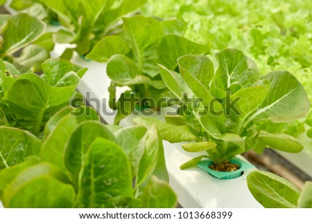 Hydroponic vegetable farm, close up organic cabbage, green leaves growing with water