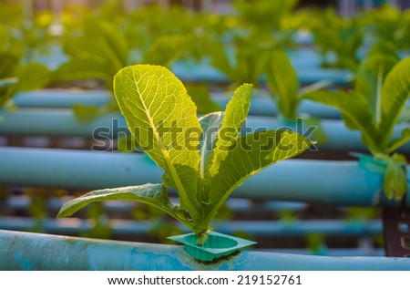 hydroponic vegetable farm in sunset. - stock photo