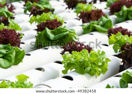 Hydroponic vegetable is planted in a garden. - stock photo