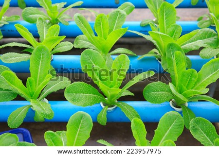 Hydroponic vegetable planting - stock photo