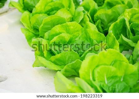 Hydroponic vegetable plat - stock photo