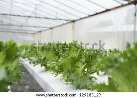 Hydroponics vegetable - stock photo