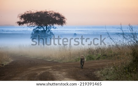 hyena before dawn in Kenya with fog in background - stock photo