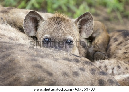 Hyena cubs feeding on their mother as part of family