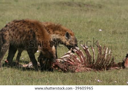 hyena eating a zebra, masai mara, kenya - stock photo