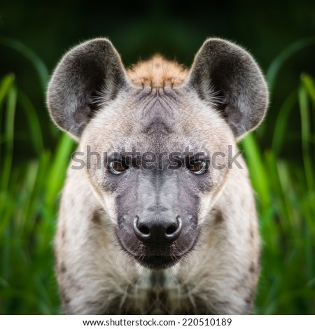 Hyena face close up - stock photo