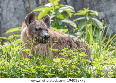 Hyena hide behind the grass - stock photo