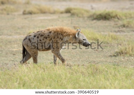 Hyena in National park of Kenya, Africa - stock photo
