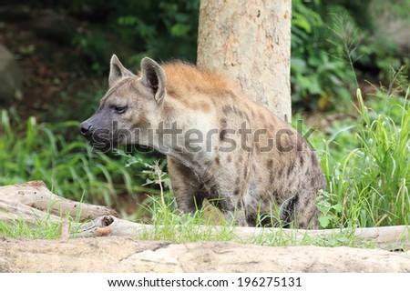 Hyena in the wild  - stock photo