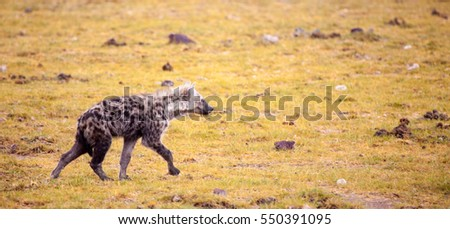 Hyena is running over the grassland, Kenya