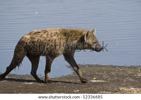 Hyena, Lake Nakuru National Park, Rift Valley, Republic of Kenya, Eastern Africa