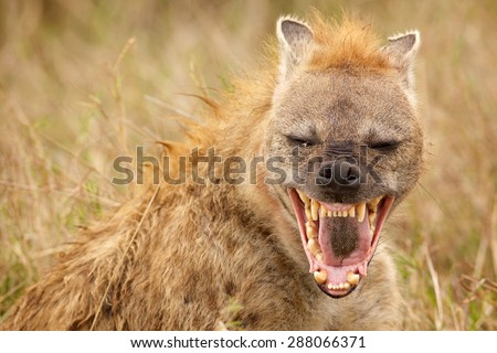 Hyena Laughing straight at the camera - stock photo