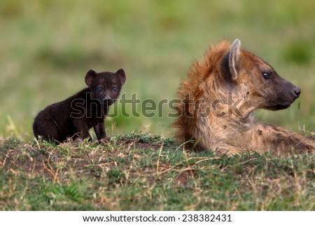 Hyena mother with baby in Masai Mara, Kenya - stock photo