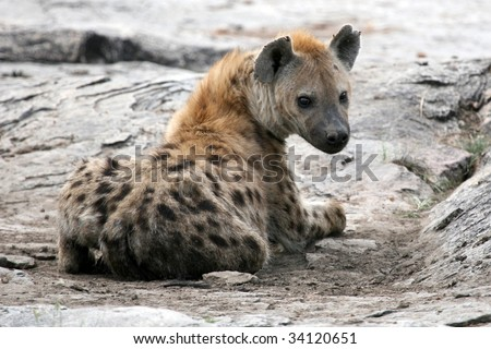 Hyena - Serengeti Wildlife Conservation Area, Safari, Tanzania, East Africa