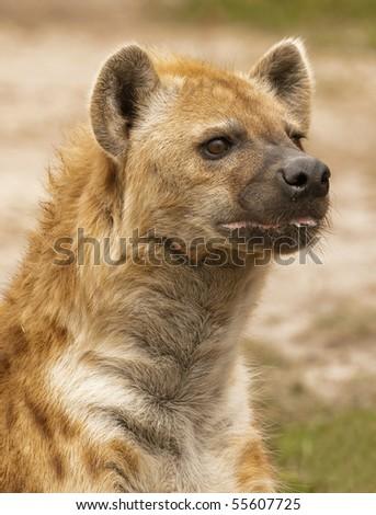 Hyena Stalking - stock photo