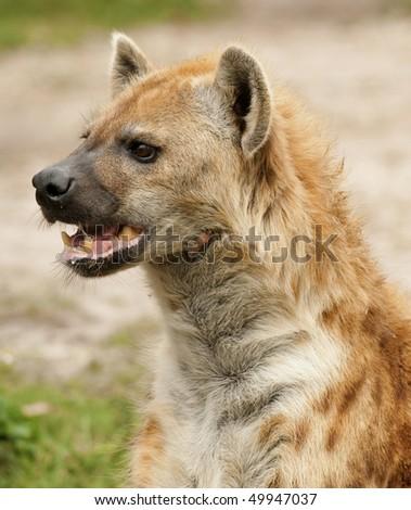 Hyena Vertical Portrait - stock photo