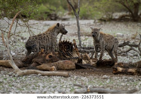 hyenas feeding on dead giraffe (Namibia) - stock photo
