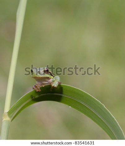 Hyla Arborea (Common green treefrog) resting on grass and looking surprised - stock photo
