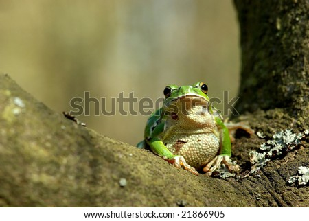 Hyla arborea. Common or European tree frog in the forest. - stock photo