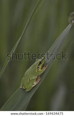 Hyla arborea, European tree frog, Germany - stock photo