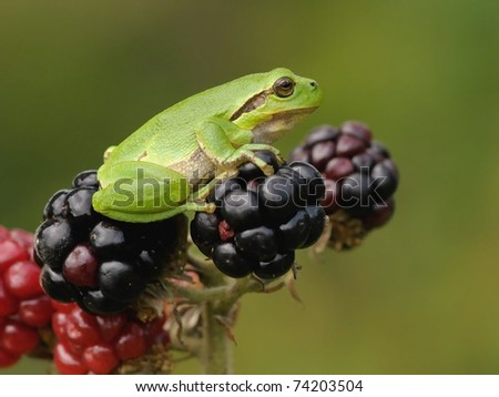 Hyla Arborea (green treefrog) sitting on Blackberry  in his habitat warming up in the sun - stock photo