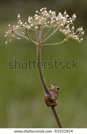 Hyla Arborea (green treefrog) want to go to the top of Heracleum sphondylium (Hogweed )