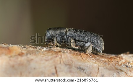 Hylastes beetle on wood, extreme close-up - stock photo