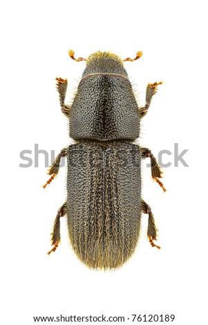 Hylurgus ligniperda isolated on a white background. - stock photo