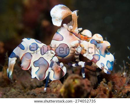 Hymenocera picta or the harlequin shrimp, is a species of saltwater shrimp found at coral reefs in the tropical oceans. This one was photographed near the Liberty wreck at Tulamben, on Bali, Indonesia - stock photo