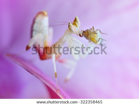 Hymenopus coronatus nymph L2 mantis macro with prey on orchid flower - stock photo