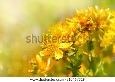Hypericum flowers (Hypericum perforatum or St John's wort) on the meadow , selective focus on some flowers - stock photo
