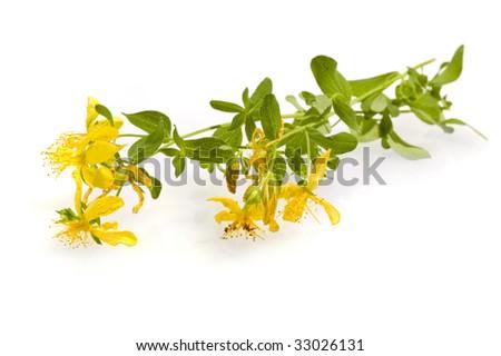 Hypericum isolated - stock photo
