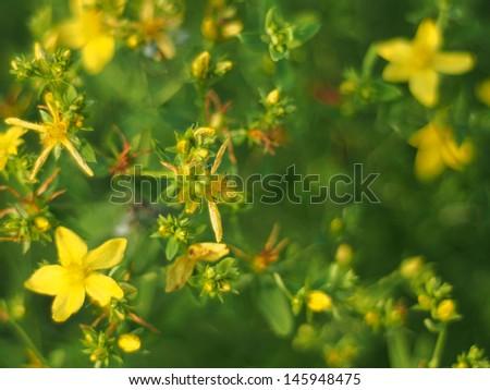 Hypericum perforatum - stock photo