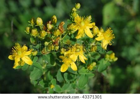 Hypericum perforatum,  medicinal plant - stock photo