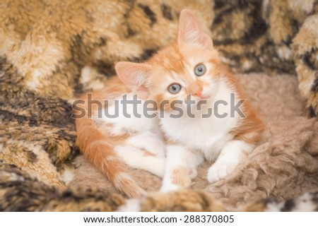 hypnotic look from a beautiful ginger kitten - stock photo