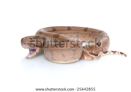 Hypo Colombian Red Tail Boa (Boa constrictor constrictor) isolated against white background
