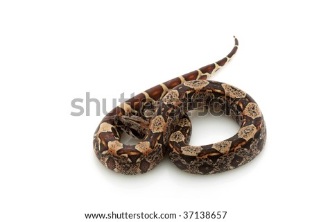 Hypomelanistic black Columbian red-tailed boa (Boa constrictor constrictor) isolated on white background